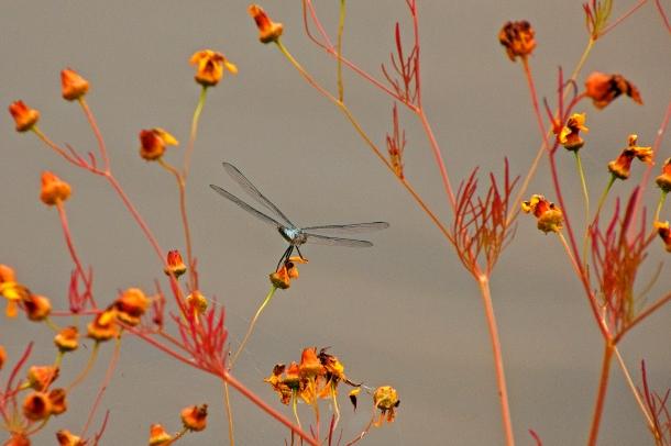 Sunday's Dragonfly/일요일의 잠자리