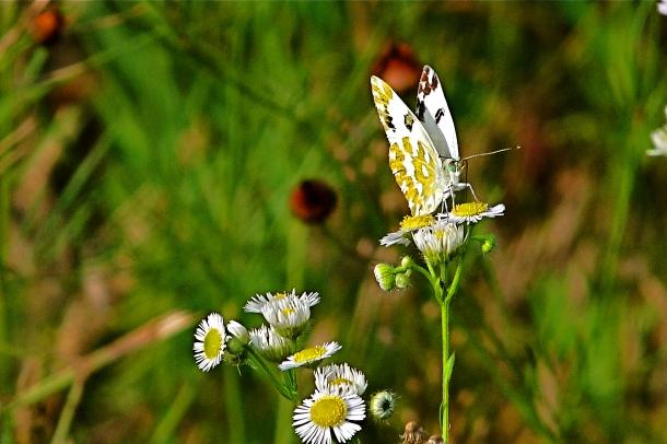 Geum-Ho- Butterfly
