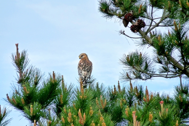 Lake Merced_Owl_a