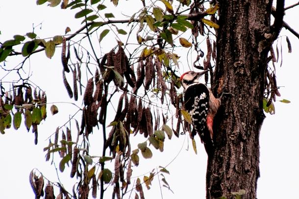 Woodpecker_4