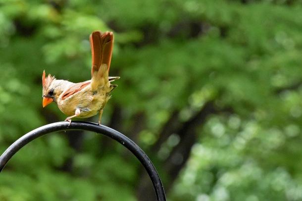 female cardinal_1