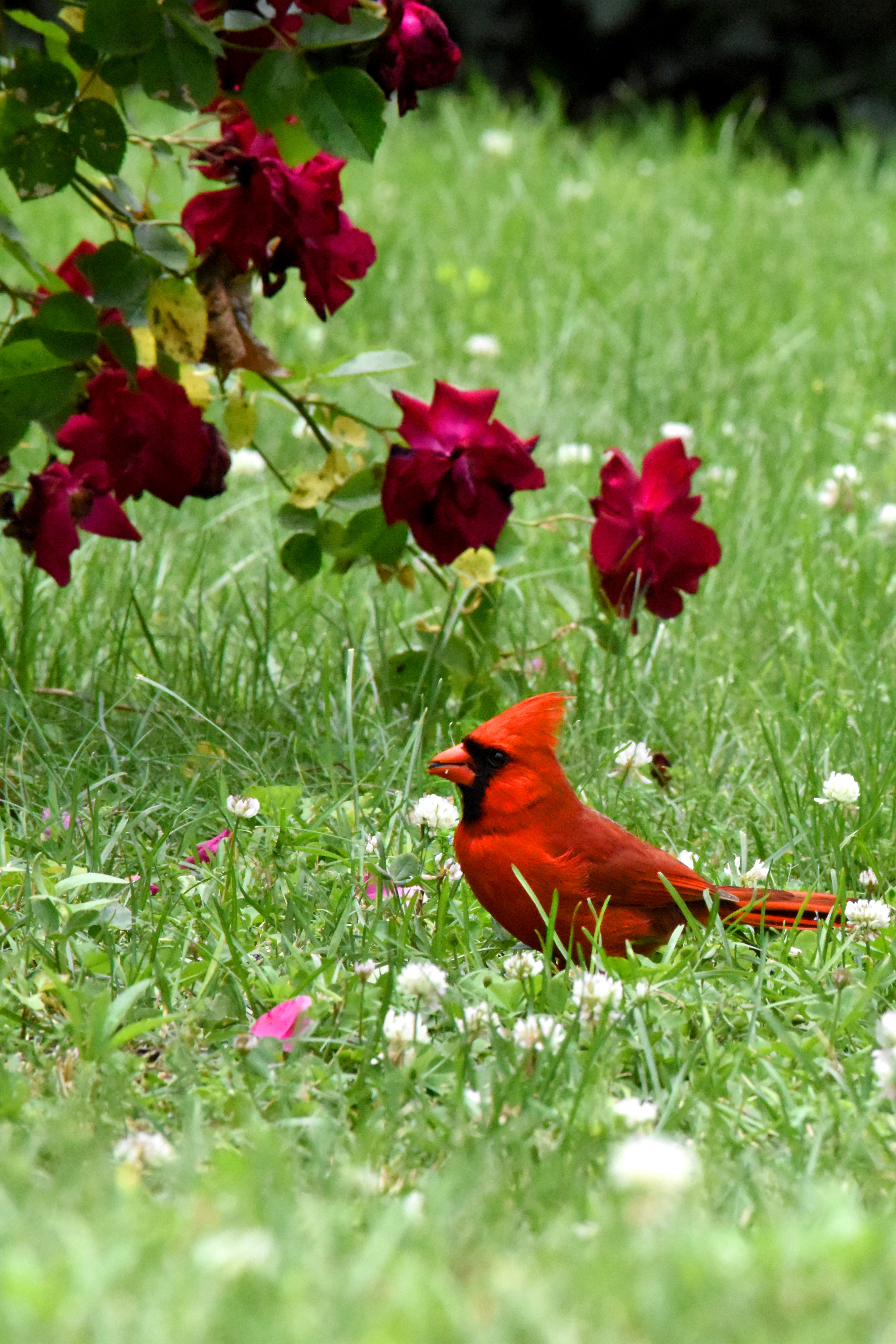 male cardinal_1